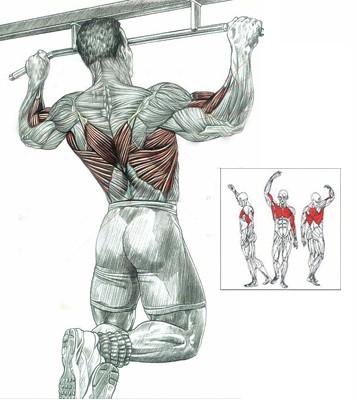 Какие мышцы качаются при подтягивании  на перекладине
